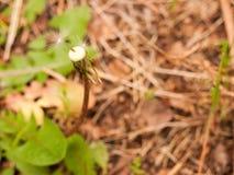 Paardebloem Paardebloempluis Paardebloem rustige abstracte close-up Royalty-vrije Stock Foto's