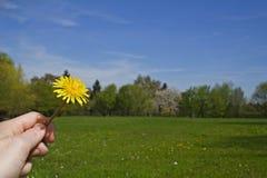 Paardebloem in park Stock Afbeelding