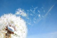 Paardebloem Sluit omhoog van paardebloemsporen die, blauwe hemel wegblazen De paardebloemzaden sluiten het ontploffen op blauwe t royalty-vrije stock fotografie