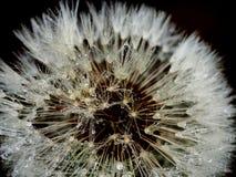 Paardebloem (taraxacum officinale) Stock Foto's
