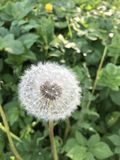 Paardebloem of Taraxacum officinale Stock Foto