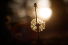 Paardebloem in zonsondergang Stock Afbeeldingen