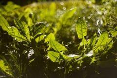 Paardebloembladeren Stock Afbeeldingen