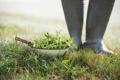 Paardebloembladeren die in tuin plukken royalty-vrije stock afbeelding