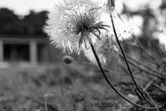Paardebloembloem tegen de zwart-witte zon, Stock Foto