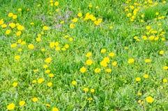 Paardebloembloemen Stock Foto's