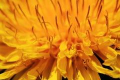Paardebloembloesem Royalty-vrije Stock Fotografie