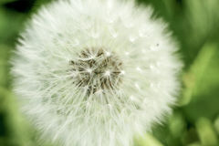 Paardebloemclose-up die zaden in softfocus tonen Royalty-vrije Stock Foto