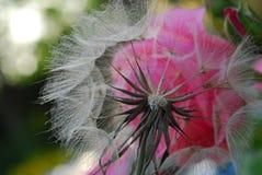 Paardebloemclose-up met roze Stock Foto's