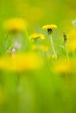 Paardebloemen stock afbeeldingen