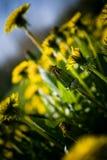 Paardebloemen Stock Foto