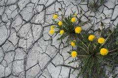 Paardebloemen Stock Foto's