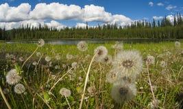 Paardebloemen aan de kant van meer, Alaska Royalty-vrije Stock Foto's