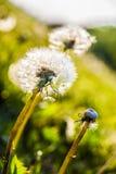Paardebloemen in de zon Stock Foto's