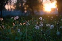 Paardebloemen in de zonsondergang Royalty-vrije Stock Foto's