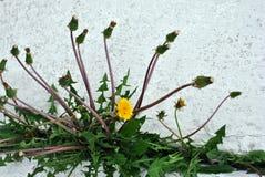 Paardebloemen die installaties met knoppen bloeien die in lijn in barst van muur met wit dicht omhoog pleister, horizontale achte stock foto