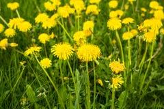 Paardebloemen in groene weide De gele achtergrond van de de zomerbloem Royalty-vrije Stock Afbeelding