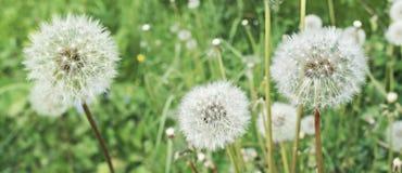 paardebloemen Het de zomergebied met witte paardebloemen bloeit dicht omhoog Stock Afbeeldingen