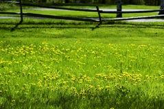 Paardebloemen in het Gras royalty-vrije stock afbeelding