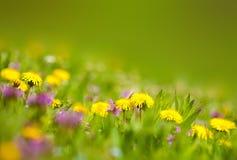 Paardebloemen in het gras Stock Afbeeldingen
