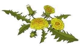 Paardebloemen kleurrijke hand-drawn botanische vectorillustratie Voor boeken, stickers, affiches, Webontwerp vector illustratie