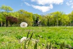 Paardebloemen met overvloed die van zaden, zich in een weide van weelderig groen gras, op een mooie en zonnige de lentedag bevind royalty-vrije stock afbeelding