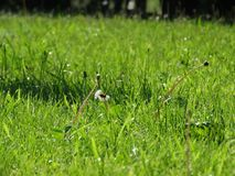 Paardebloemen onder het gras Stock Afbeeldingen