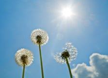 Paardebloemen op de blauwe hemel Heldere zon zonneschijn Stock Foto
