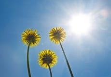 Paardebloemen op de blauwe hemel Heldere zon zonneschijn Royalty-vrije Stock Afbeelding