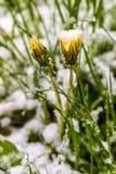 Paardebloemen in sneeuw, 11 Mei, het jaar van 2017, Minsk Wit-Rusland Stock Fotografie