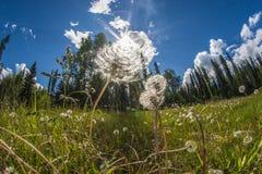 Paardebloemen, zonnige dag in Alaska Stock Foto