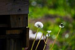 Paardebloemenclose-up op aard in de zomer De wind blaast zaden van paardebloemen weg stock foto's