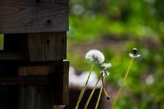 Paardebloemenclose-up op aard in de zomer De wind blaast zaden van paardebloemen weg royalty-vrije stock afbeelding