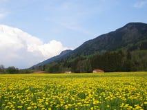 Paardebloemgebied in Beieren Royalty-vrije Stock Foto's