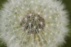 Paardebloeminfructescence Stock Fotografie