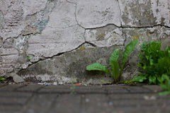 Paardebloemspruiten die tussen bestratingsbarsten groeien naast een gebarsten teruggegeven muur royalty-vrije stock foto