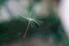 Paardebloemzaad in een Web van het vliegen in de lucht royalty-vrije stock foto