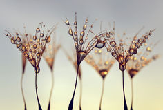 Paardebloemzaden met de ochtenddalingen van dauw stock afbeelding