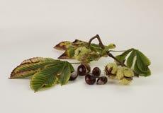 Paardekastanjes, in en uit shell, met bladeren Royalty-vrije Stock Afbeeldingen