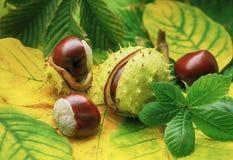Paardekastanjes op de herfstgebladerte Royalty-vrije Stock Foto