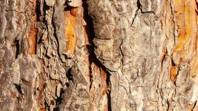 Paardekastanjeschors, met een textuur die door de schors en de boomstam wordt gegeven stock footage