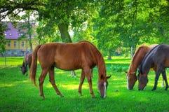 Paarden. stock fotografie