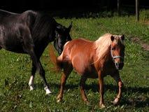 Paarden Stock Afbeelding