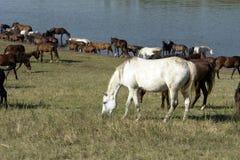 Paarden Royalty-vrije Stock Fotografie