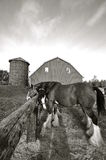 Paarden aan een post worden gebonden die Royalty-vrije Stock Foto
