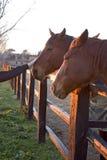 Paarden achter een omheining bij zonsondergang Stock Afbeelding