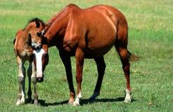 Paarden Affectie Royalty-vrije Stock Foto's
