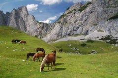 Paarden bij de Alpen Stock Fotografie