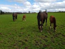 Paarden bij de Ierse nagel stock afbeeldingen