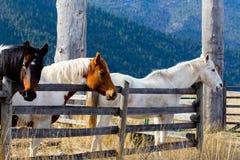 Paarden bij de omheining Royalty-vrije Stock Fotografie